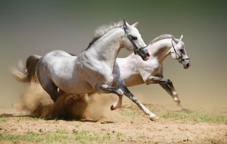 两只奔跑的白色骏马4K高端电脑桌面壁纸
