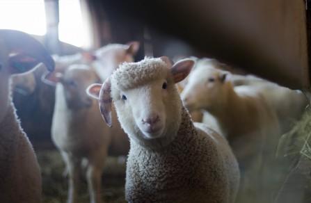 可爱的小羊5K高端电脑桌面壁纸