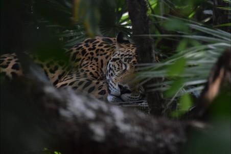 伯利兹动物园 捷豹4k图片