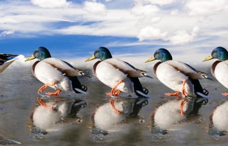 动物 鸭 鹅 妈妈 孩子 冰 溜冰场 可爱动物 7K高端电脑桌面壁纸