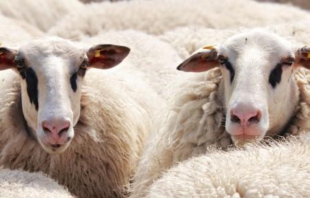 羊 羊群的羊 动物 羊毛 牧场 5K图片