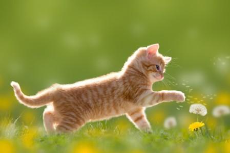 草甸,蒲公英,小猫4K高端电脑桌面壁纸