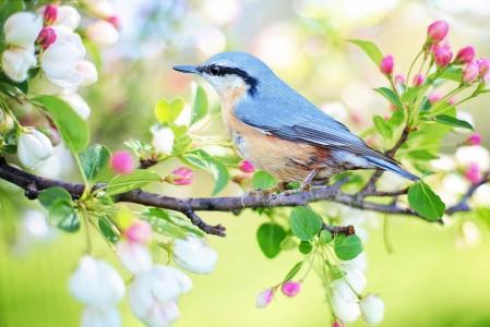 春天 树枝 花 鸟儿 4K图片