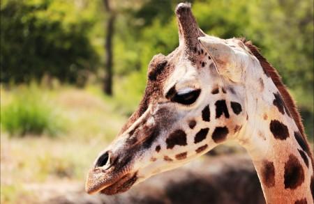 长颈鹿6K图片