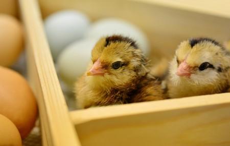 小鸡 蛋壳 6k图片