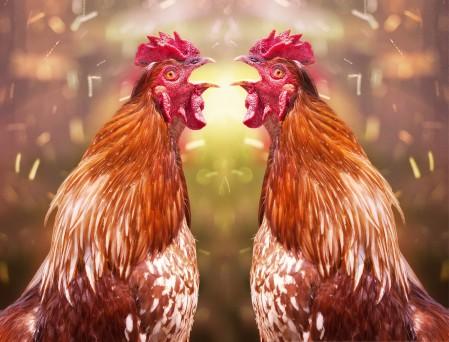 鸡 图像 复合 4K图片