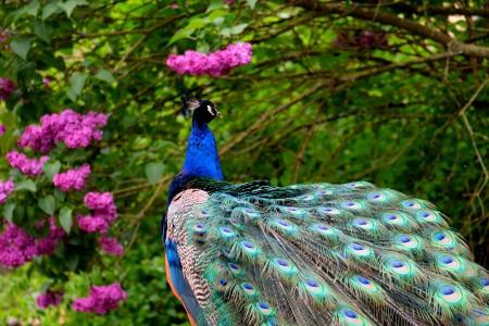 孔雀蓝色羽毛6k图片