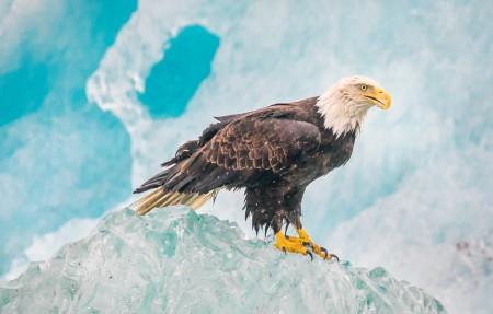 阿拉斯加冰山的鹰4k高端电脑桌面壁纸