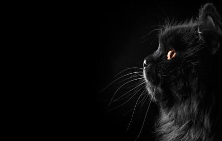 黑色波斯猫4K高端电脑桌面壁纸