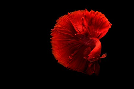 红色暹罗斗鱼黑色背景4k图片