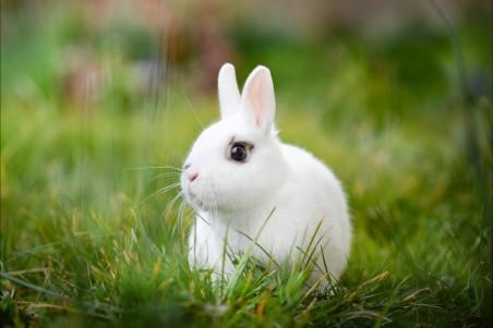 白色兔子草地图片