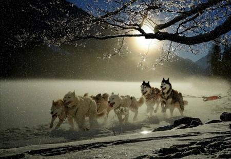 狗,哈士奇,冬天,寒冬,雪,雪橇狗赛跑,4K图片