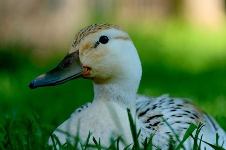 鸭 动物 水 草地 鸭子6K高端电脑桌面壁纸
