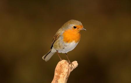罗宾鸟图片素材