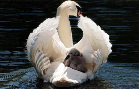 天鹅 天鹅宝宝 白天鹅 湖水 5K图片