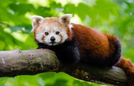 树上的红熊猫4k高清高端电脑桌面壁纸