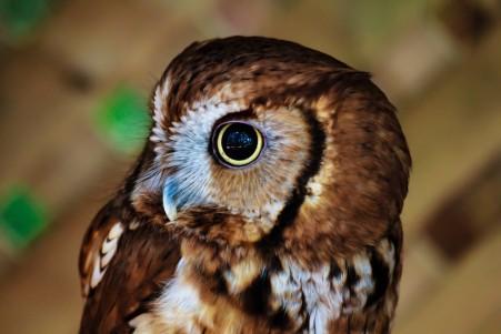 可爱猫头鹰 眼睛 动物摄影 5K高端电脑桌面壁纸
