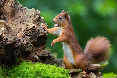 林中可爱的小松鼠 坚果 4k图片