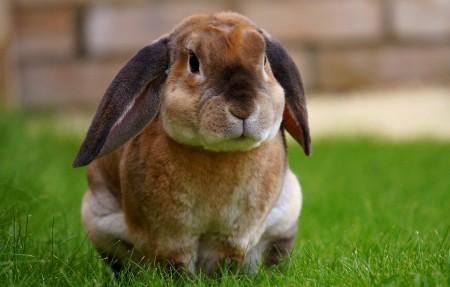 可爱兔子坐在草地上4k高端电脑桌面壁纸