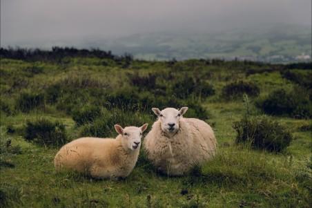 山 两只可爱绵羊4K高端电脑桌面壁纸