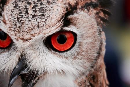 红色眼睛猫头鹰6K高端电脑桌面壁纸