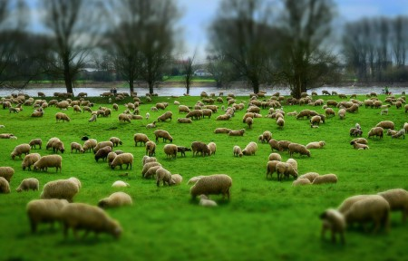 一群羊 羊群 羊毛 帽子 牧场 草地 羔羊 动物 5K高端电脑桌面壁纸