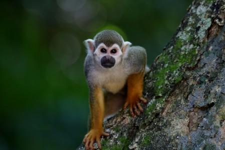在树中的猴子 自然栖息地