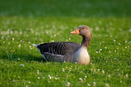 灰鹅 鸭鸟 草地 4k图片