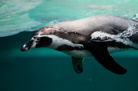 企鹅,游泳,水上和水下照片4k图片