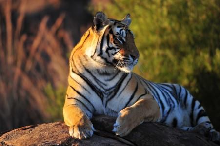 石头,老虎,森林之王,老虎图片