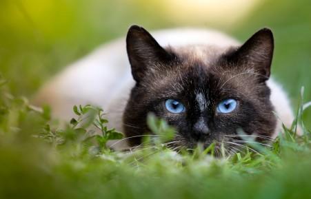 猫,绿色草地,蓝色眼睛的猫4K高端电脑桌面壁纸