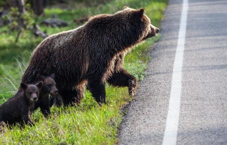 北极熊,妈妈,孩子,路,动物图片