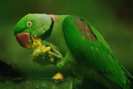 玫瑰环绕的鹦鹉 玉米 吃 绿色鹦鹉5K图片