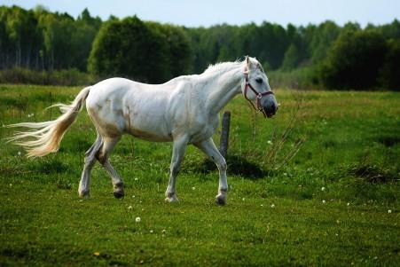 草地上的白色骏马4k高清图片