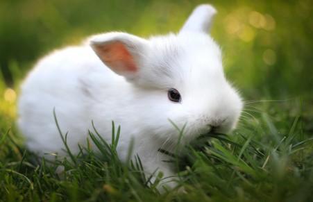 小白兔,绿草,图片