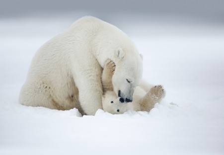 雪地里的北极熊妈妈和孩子