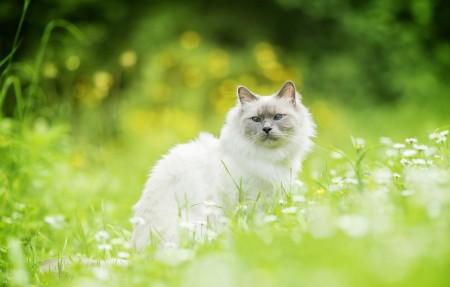 猫,草,散景,白猫4K高端电脑桌面壁纸