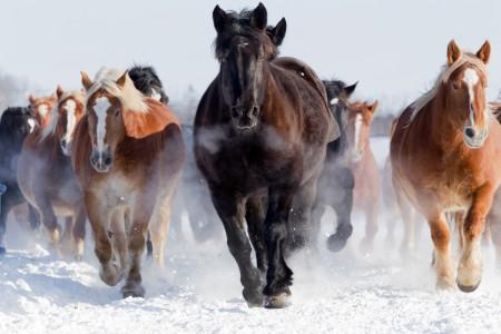 雪地奔驰的骏马4K图片