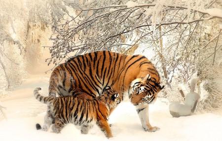 冬季 雪 老虎4K超高清壁纸精选 3840x2160