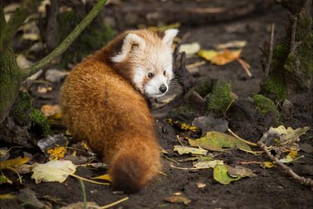 森林 树叶 可爱小熊猫图片