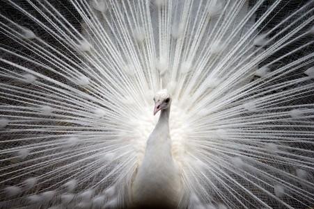 孔雀 白羽毛 自然 美丽 羽毛 充满活力 优雅 5K图片