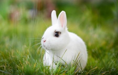 草地上可爱白兔图片