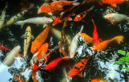 锦鲤鱼4k壁纸超高清图片下载