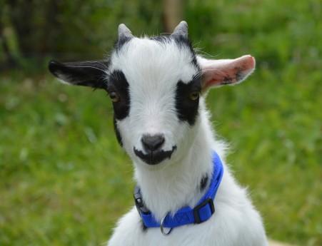 黑色白色山羊4k图片