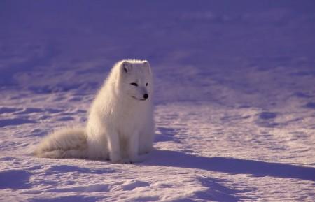 北极狐高清图片