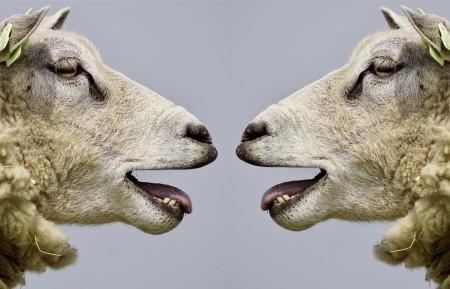 羊 交流 谈话 有趣的 搞笑 6K动物图片