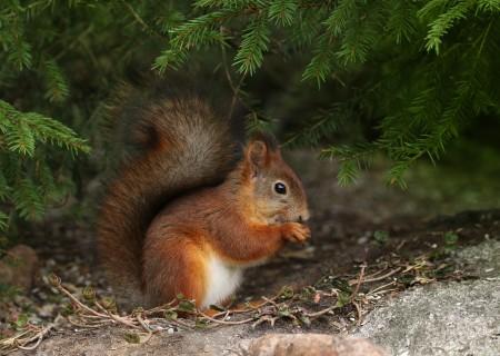 森林里的可爱小松鼠高清图片