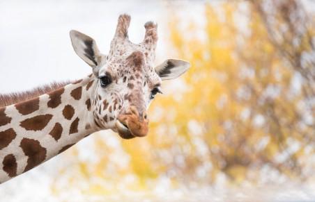 长颈鹿摄影图片