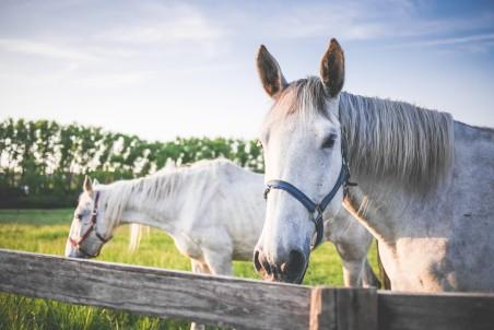 两个白色的马 牧场 4K高端电脑桌面壁纸