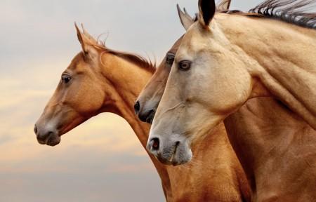 棕色的马,三匹骏马图片